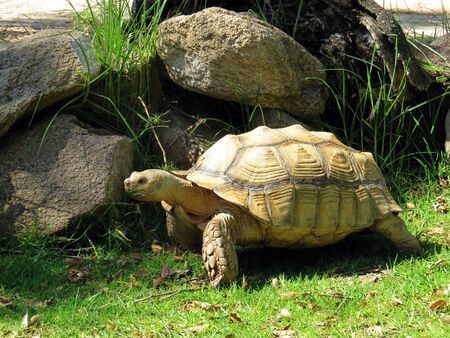 spurred: African Spurred Tortoise