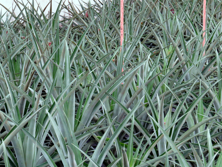 portugal agriculture: Greenhouse pineapple plantation Stock Photo