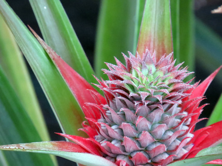 agriculture azores: Growing pineapple