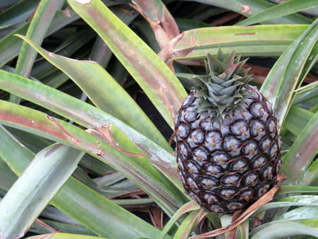 agriculture azores: Pineapple growing