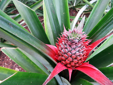 portugal agriculture: Sprouting pineapple