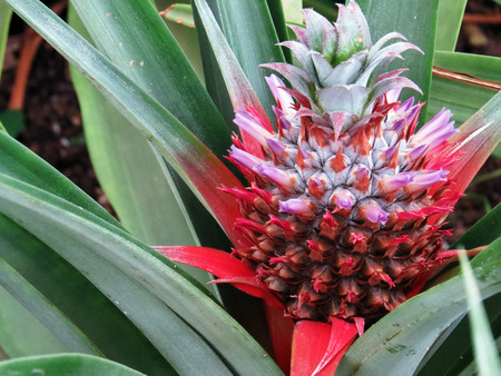 agriculture azores: Sprouting pineapple flower
