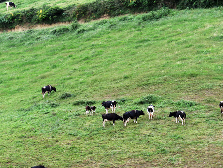 agriculture azores: Cows grazing