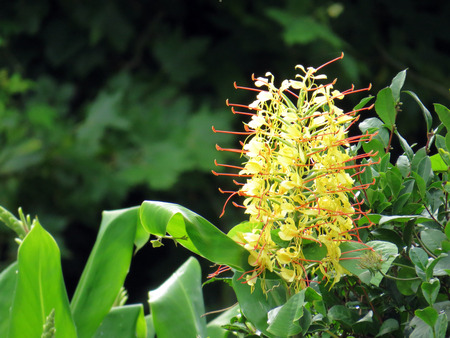 invasive plant: Hedychium gardnerianum Stock Photo