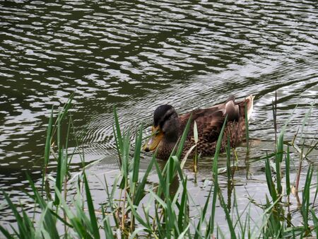 pato real: Hembra del pato silvestre Foto de archivo
