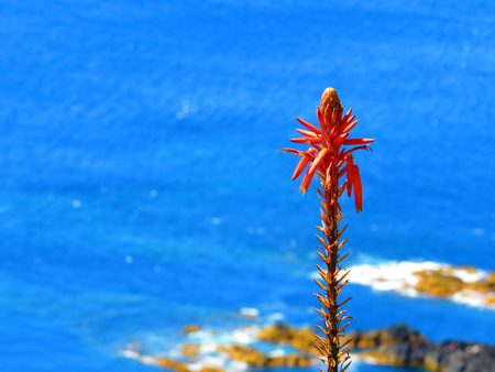 plantae: Aloe vera flower