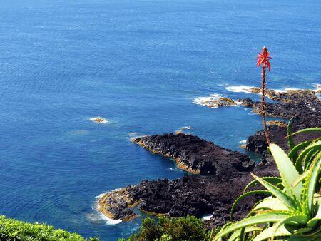 aloe vera flowers: Aloe vera at coast