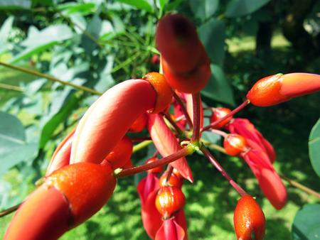 erythrina: Erythrina crista-galli
