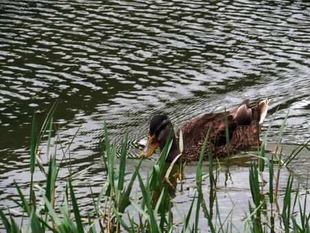female mallard duck: Female mallard duck