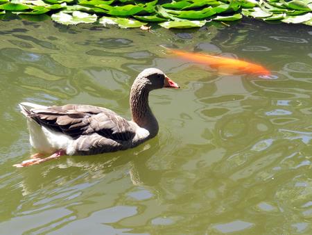 fabalis: Bean Goose Stock Photo
