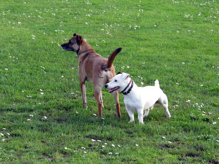 mongrel: Mongrel dog and Jack Russell Terrier