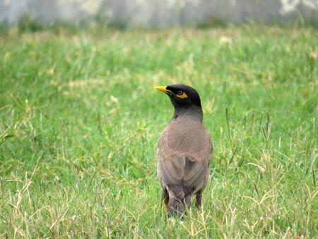 common myna bird: Common myna bird on the meadow