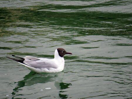 larus: Little gull Stock Photo