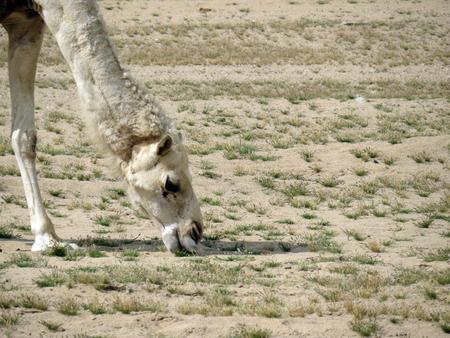 dromedary: Dromedary (Arabian camel)