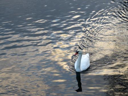 Mute swan Stock Photo - 124689491