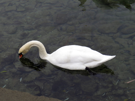 Mute swan feeding Stock Photo - 126030574