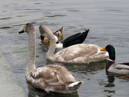 Mute swan and mallard