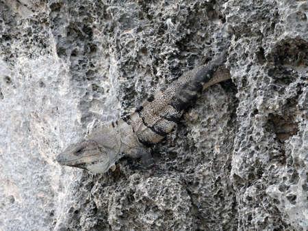 Iguana of Yucatan in Mexico Stock Photo