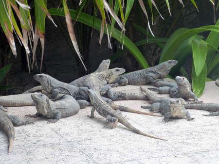 Iguanas of Yucatan in Mexico