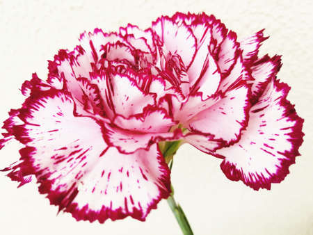 white and red carnation