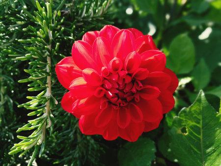 Dahlia flower