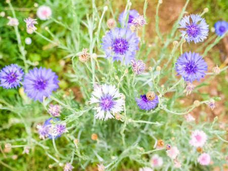 garden cornflowers: Blur cornflower