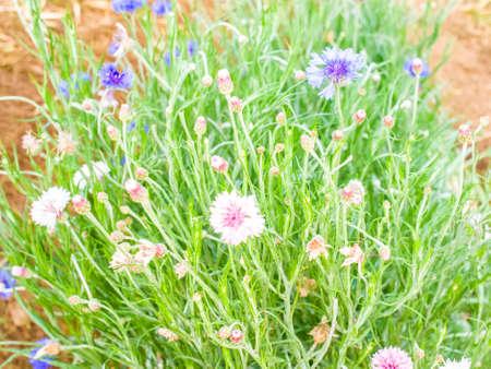 cornflower: Cornflower on meadow