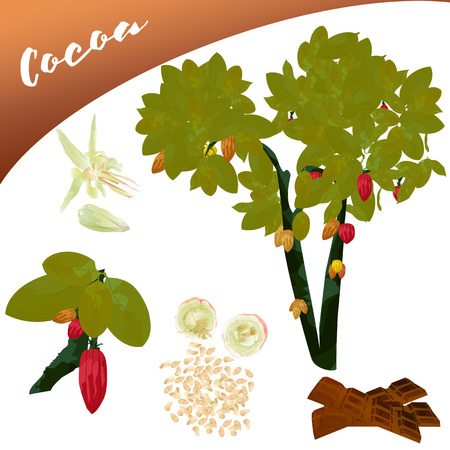Vector van een heerlijk fruit zoals cacao, in de boom, zijn bloemist, evenals de inhoud van deze toevoeging, dit eindigt een chocoladereep. Stockfoto - 86787795