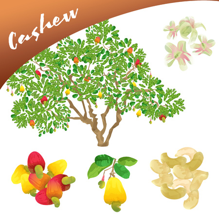 Vector a delicious fruit as cashew, in the tree, showing their flowers and fruit and finally the seeds of this in cashews.
