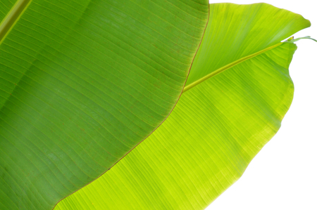 Banana tree leaves photo for your botany projects or tropical publications.