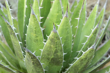 Wild spiny agave plant in a mount, Puebla , Mexico. Stock Photo