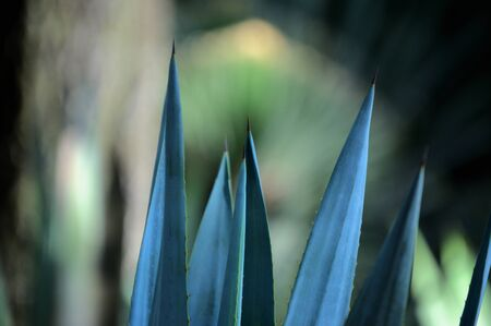 Agave plants in botanical garden, Chapultepec Mexico, ideal for your botany projects or nature publications.