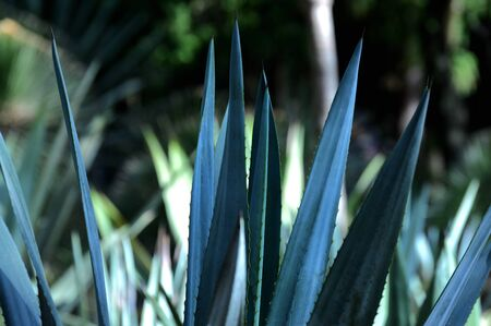 Agave plants in botanical garden, Chapultepec Mexico, ideal for your botany projects or nature publications. 免版税图像 - 131989744