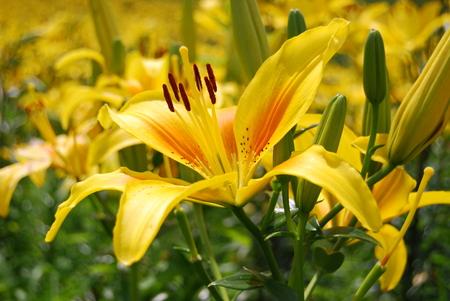 Lily flower Фото со стока