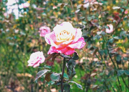 bright: Two white and pink roses represent love crystal clear.