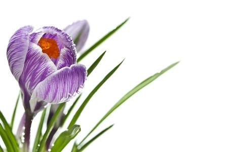 Close up of crocuses over white background, with copy space, shallow deep of field  photo