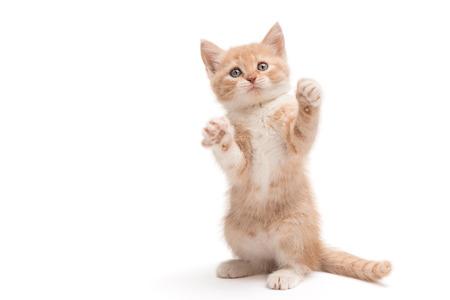 scottish straight: Scottish straight kitten standing playing isolated on white