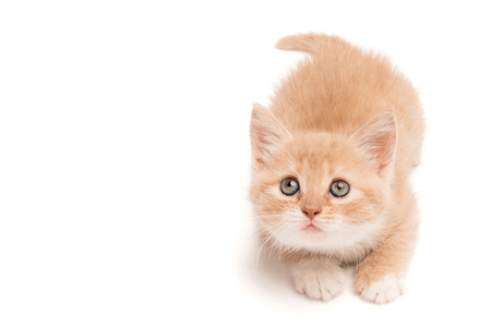 adroitness: Funny kitten lying on the studio floor hunting looking up