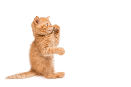 adroitness: Red kitten standing playing with leg on his mouth isolated on white
