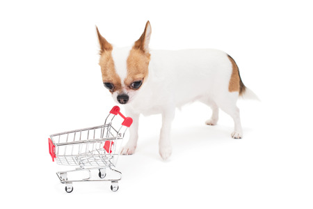 Sad Chihuahua with empty shopping cart on the white in the studio photo