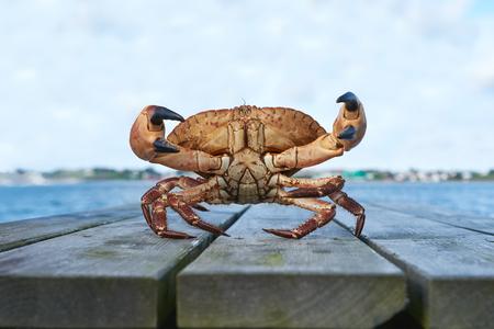 cangrejo: Viva cangrejo noruega Brown, Cancer pagurus, buey de mar, cangrejo Tourteau en la defensa de la postura con las garras levantadas