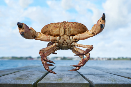 cancer crab: Alive Norwegian Brown crab, Cancer pagurus,  edible crab, crab Tourteau in defending posture with raised claws jumping in camera Stock Photo