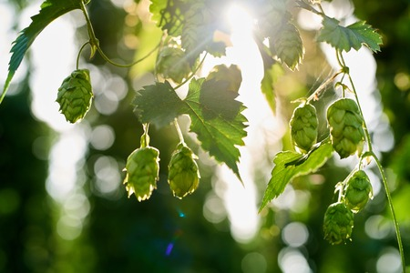 hop cone: Closeup of ripe hop cones in the hop field. Beer production material. Stock Photo