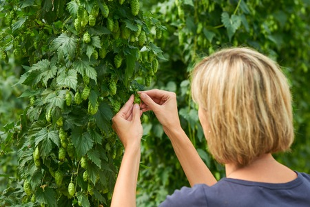 hopfield: Woman checking hop cones in the hop field. Beer production material. Stock Photo