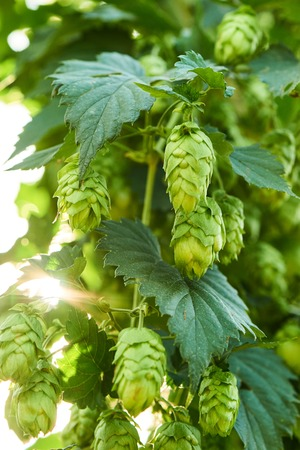 hopfield: Closeup of ripe hop cones in the hop field. Beer production material. Stock Photo
