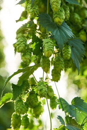 bitterness: Closeup of ripe hop cones in the hop field. Beer production material. Stock Photo