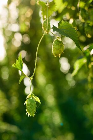 bitterness: Closeup of ripe hop cones in the hop field with sun beam backlit. Beer production material.