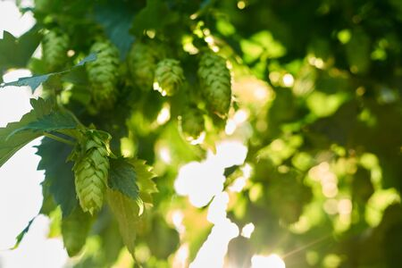 Ripe hop cones in the hop field with sun beam backlit. Beer production material. Stock Photo