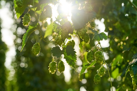 hopfield: Ripe hop cones in the hop field with sun beam backlit. Beer production material. Stock Photo