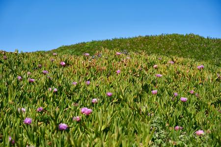 Collines, couvert, violet, succulent, fleurs, glace, plante, -, carpobrotus, edulis, californie, usa